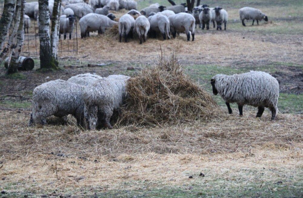 MÜSTILINE LUGU: kuhu ikkagi kadusid tuhat Saaremaa Ökoküla lammast?