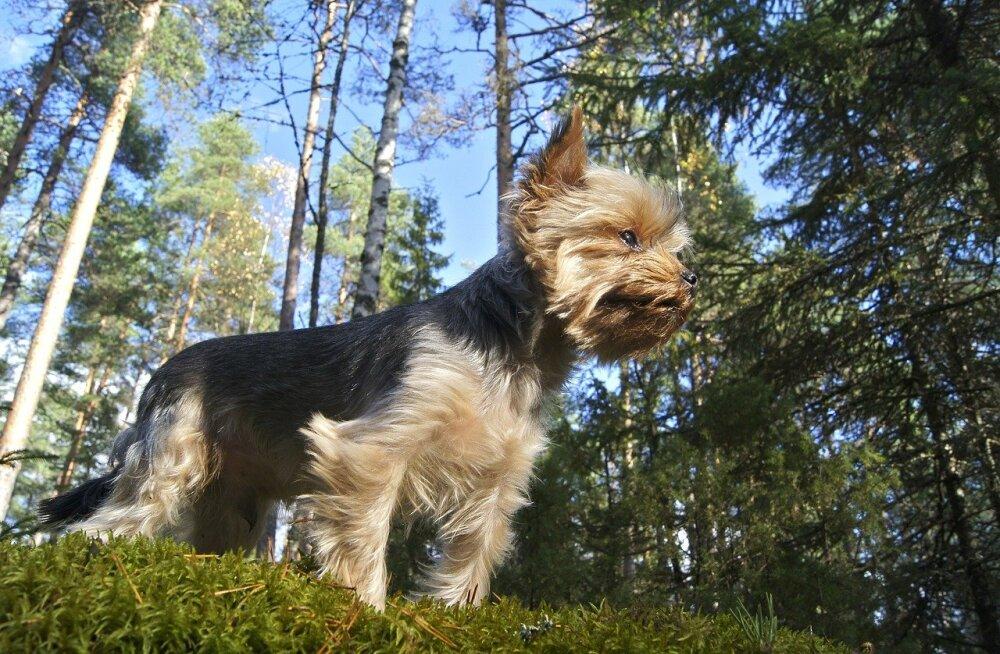 Looduses liikuvaid koeri võib ähvardada surmaga lõppev haigus