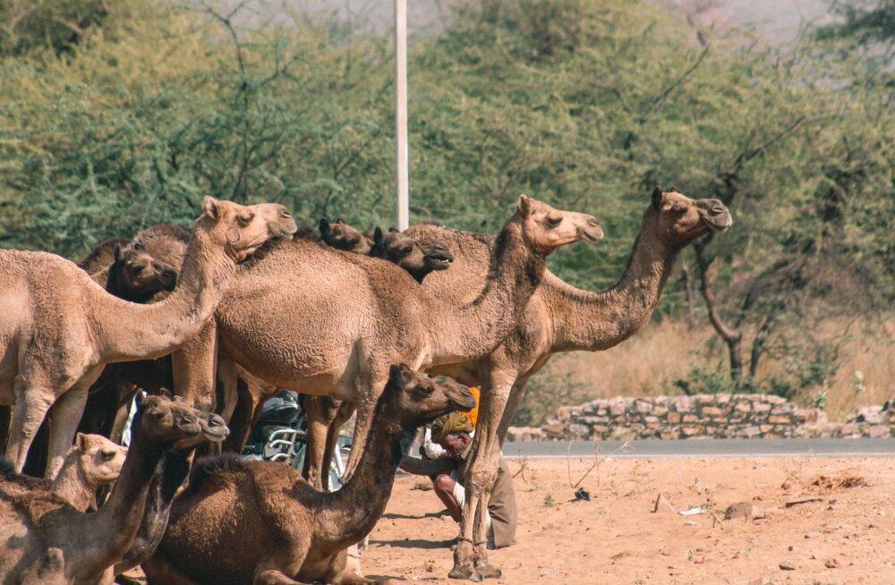 Стадо одичавших верблюдов затерроризировало жителей трех сел