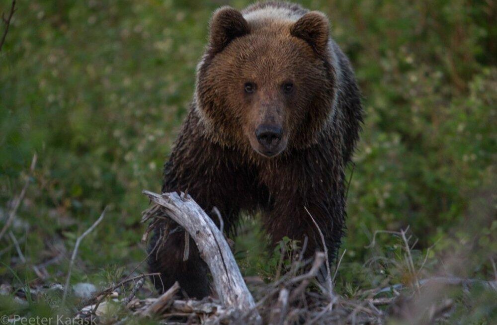 See karu ründas hetk hiljem loodusfotograaf Peeter Karaskit