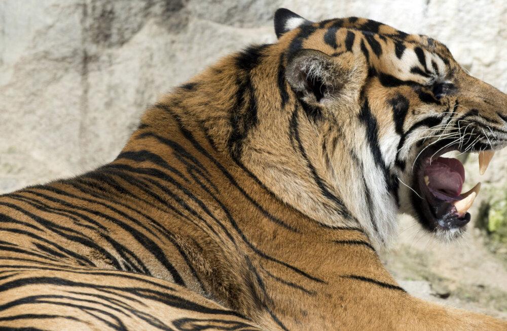 Ohustatud Sumatra tiiger võttis Londoni loomaaias liigikaaslaselt elu