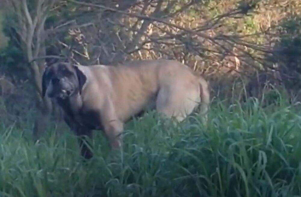 Südantliigutav VIDEOLUGU | Naine püüdis kodu lähistel hulkunud koera kolm aastat ja tulemus oli seda vaeva väärt