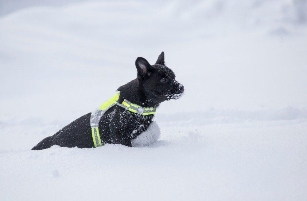 Koer, koduloom, talv, lemmikloom, Austraalia pinšer, lumi,