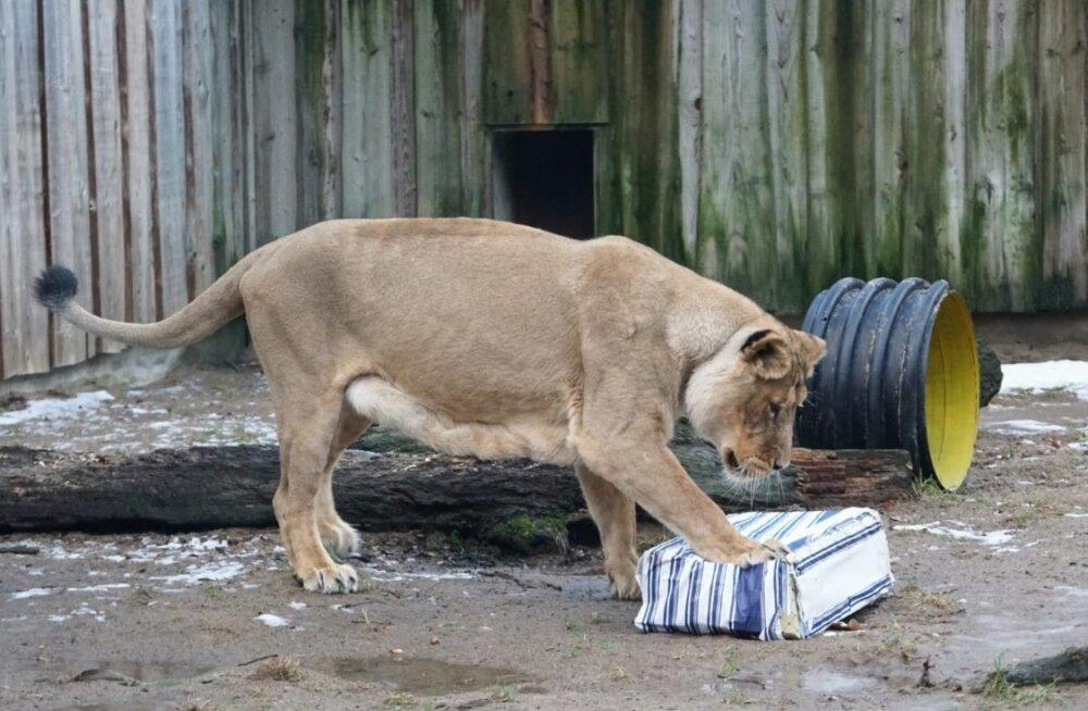ÜRITUS | Aprillis saab loomaaias näha, kuidas käib suurte kiskjate söötmine