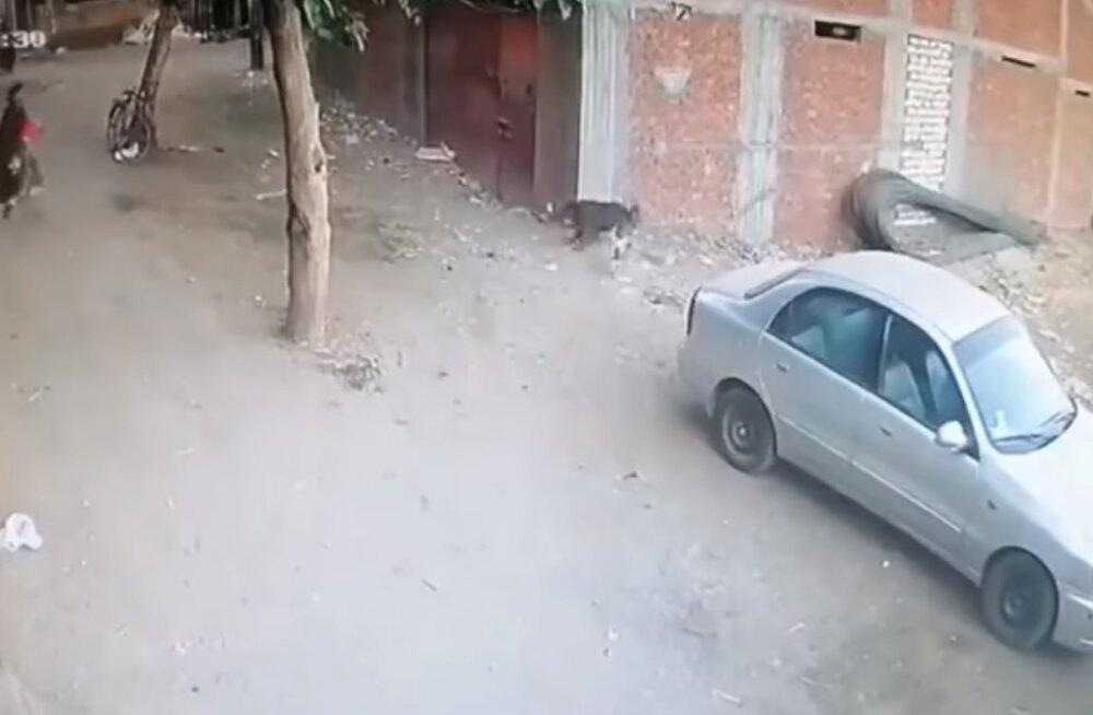 ВИДЕО | Отважный кот спас ребенка от нападения собаки