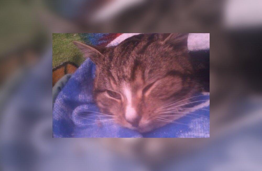 Tõenäoliselt vägivalla ohvriks langenud kass leiti apaatsena Kiisa elaniku koduaiast: pojad oli ta juba kaotanud