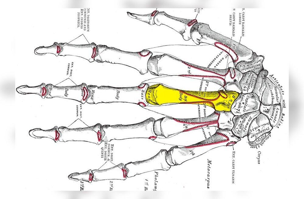 Kolmas kämblaluu. Repro 19. saj Henry Gray anatoomiaõpikust