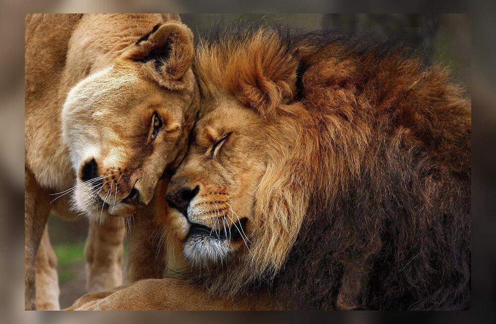 <em>Incredible India!</em> India õigustas oma reklaamlauset taas 100% - vanglakaristus määrati lõvile!