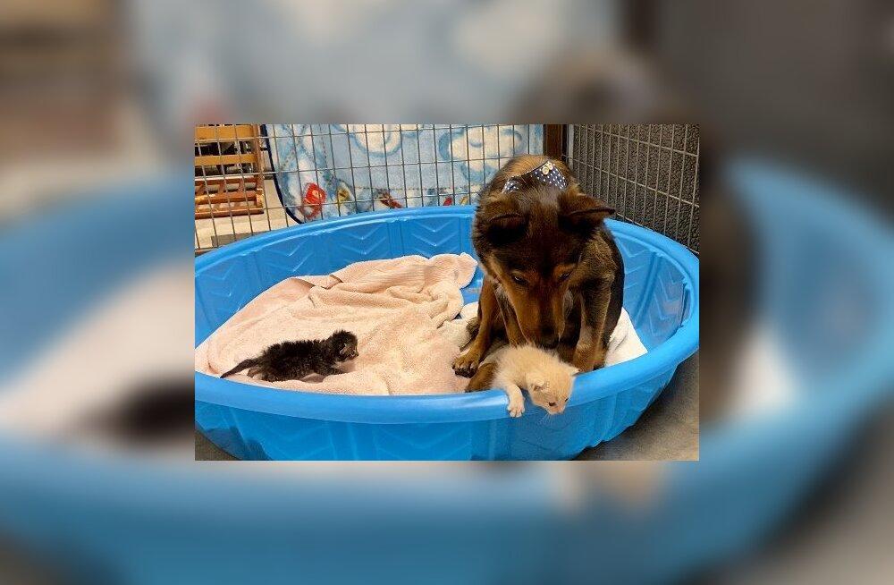 LIIGUTAV VIDEO   Kutsikatest ilma jäänud koer hakkas orbudest kassipoegadele ammeks