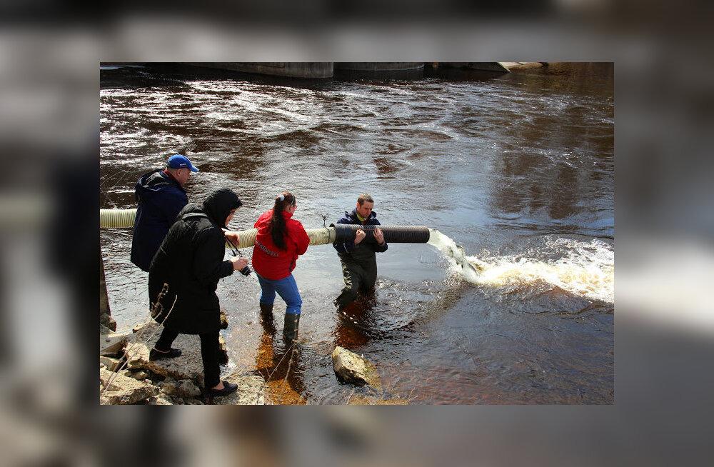Jägala jõkke lasti üle 5000 noore lõhe