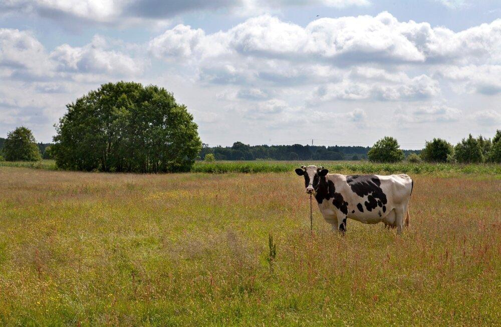 Piiririkkujast lehm Penka pääseb tänu palvekirjale hukkamisest! Euroopa Komisjon: selles loos on moraal ka Brexiti jaoks