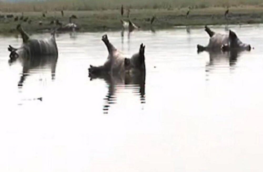 Siberi katk tappis Namiibias kahe nädalaga üle saja jõehobu