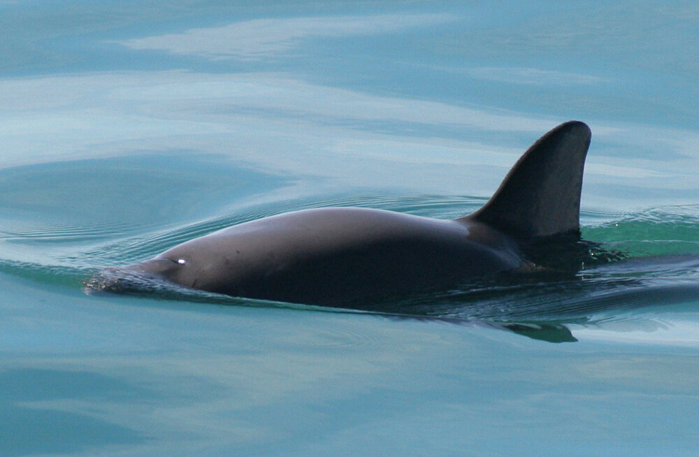 Võidujooks ajaga: maailma haruldasimat mereimetajat on järel vaid 30 looma