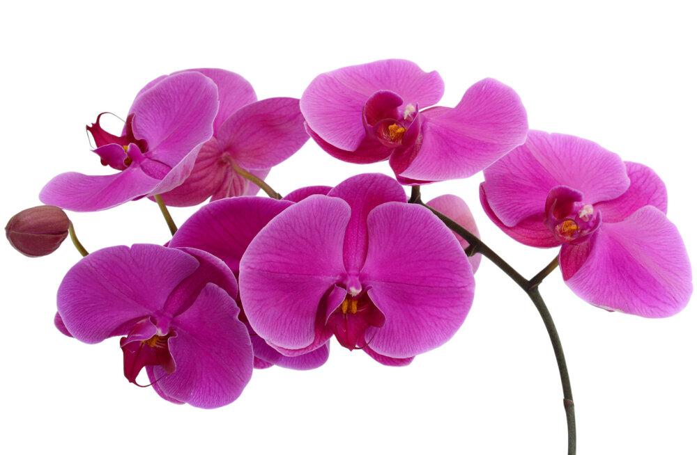Selle lihtsa nipiga on kõige parem kasta orhideed