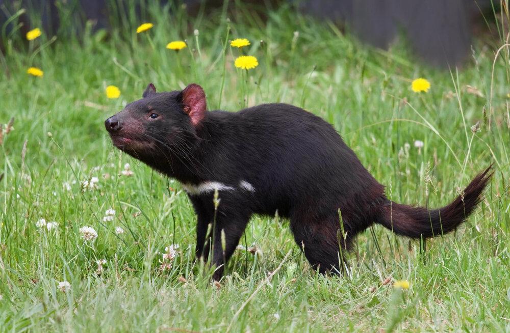 Tasmaania kurat on hädas eriti nakkava vähktõvega