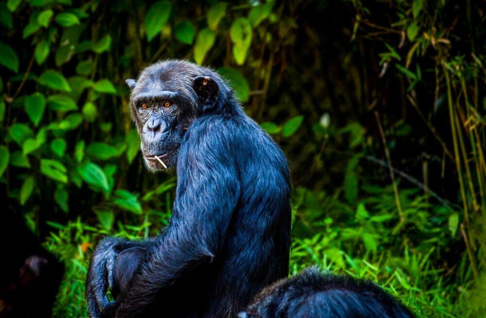 Kõige arukamaks peetud šimpans Sarah lahkus kõrges vanuses