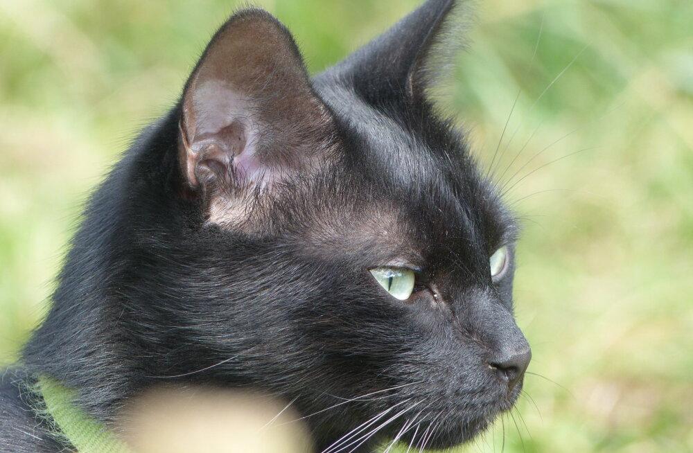 Rituaalimeister Marek Meiusi: must kass toob kaitset ja õnne neile, kes temasse headuse ja armastusega suhtuvad