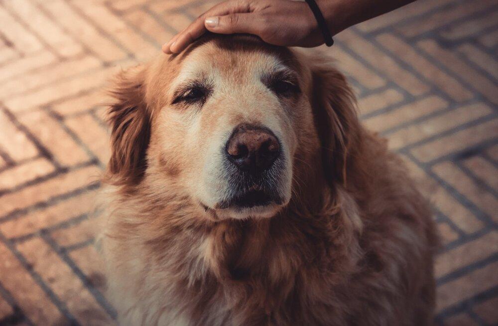 Murtud pilk: kas ja mille põhjal saab koer aru, kui pean kodust lahkuma?