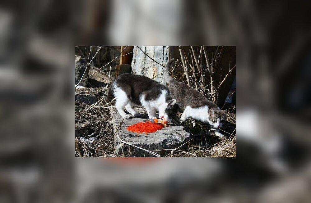 Жесть: в Эстонии появились живодеры, травящие кошек ядом