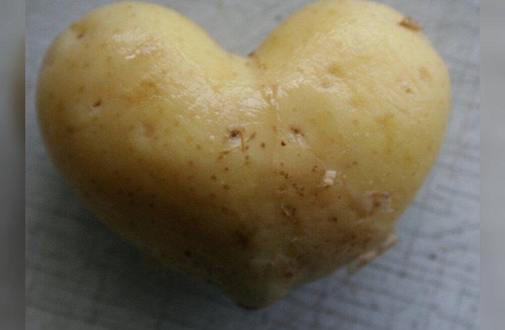 Põllumees: värsket kartulit on oodata jaanipäeva paiku