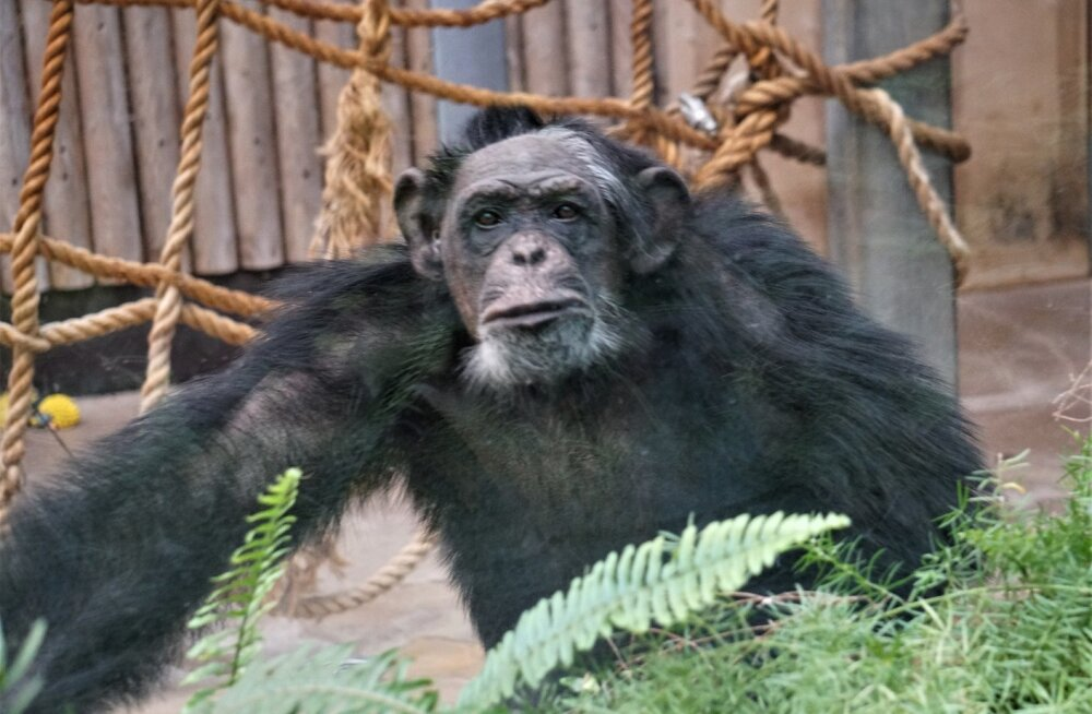 FOTOD | Vaata Tallinna loomaaia ahvide loodud kunstiteoseid