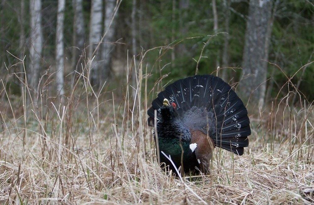 Осторожно! В брачный период эта распространенная в Эстонии птица может напасть на человека