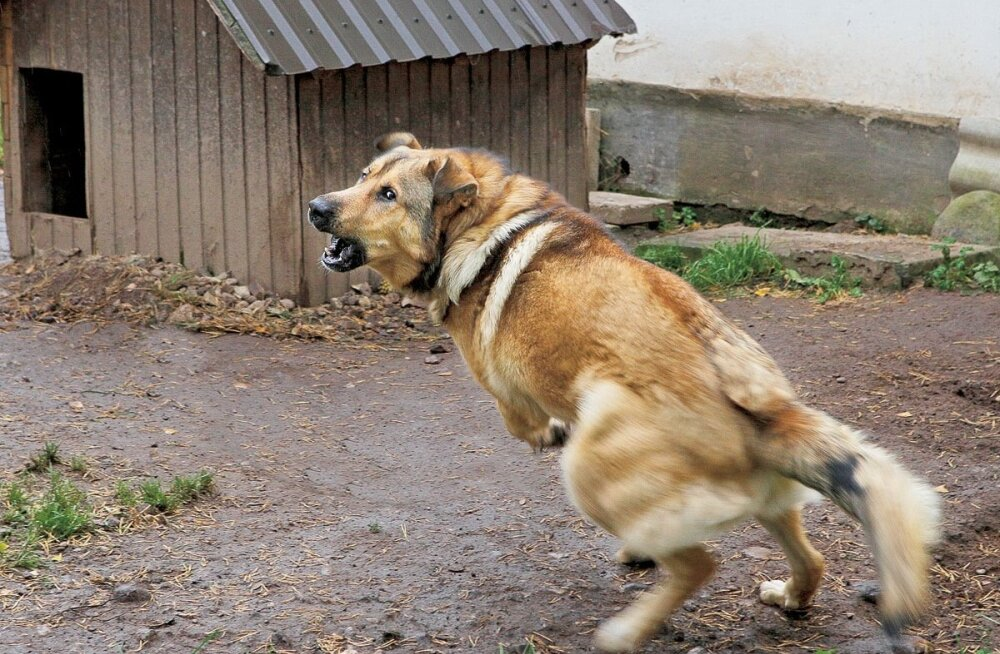 kuri-koer