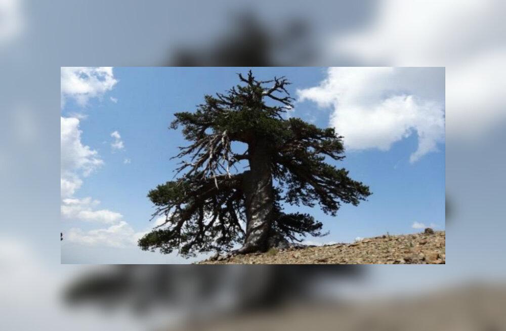 Найдено самое старое дерево Европы
