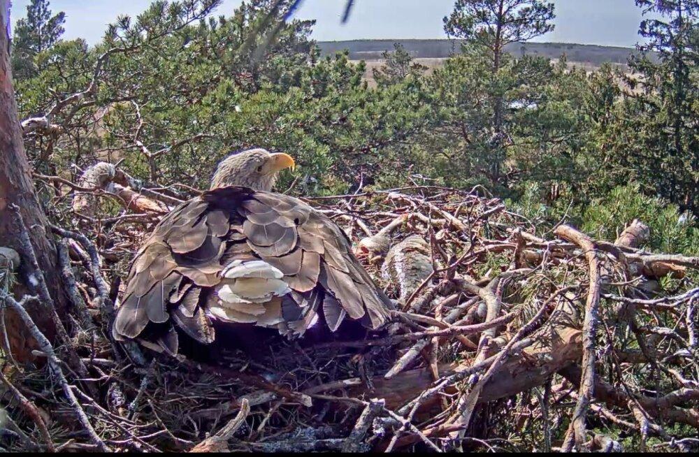 Merikotkaste Suvi ja Sulevi poeg teeb munas häält