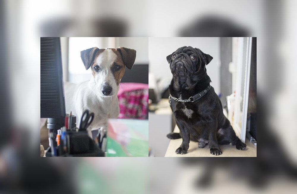 Kaks koera, kes käivad tööl kahes vahetuses