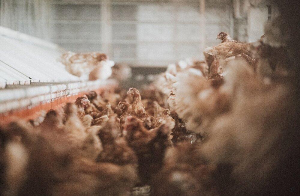 VTA selgitab: miks tuleb Valgamaa 200 000 kana viivitamatult hukata?