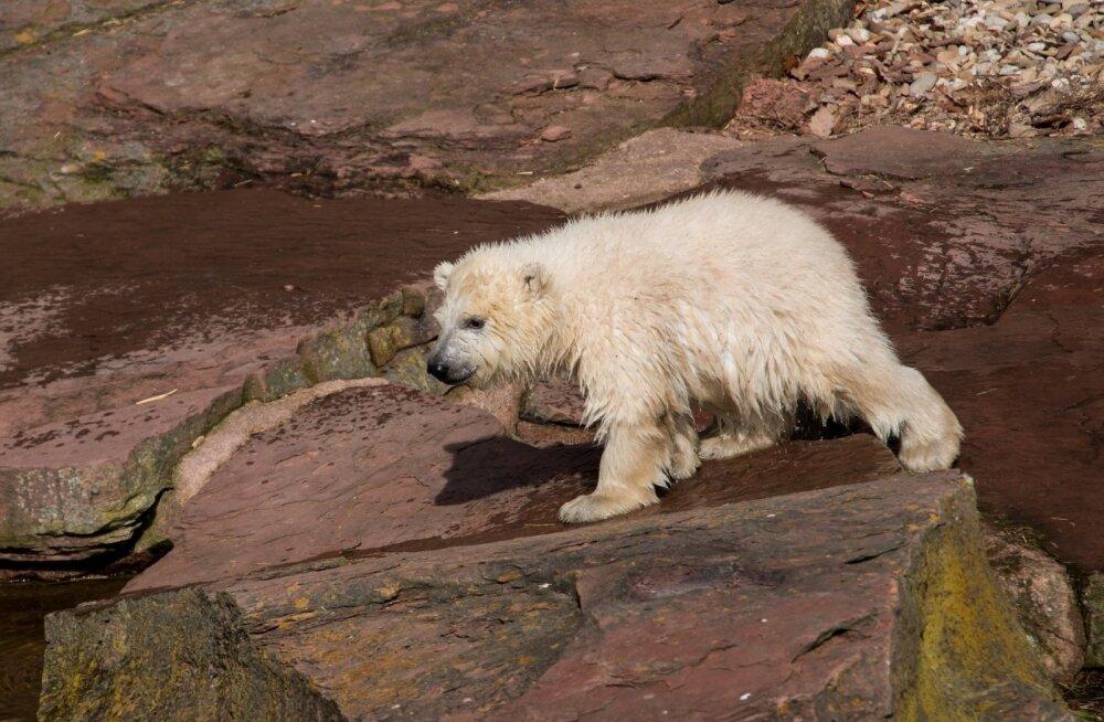 ВИДЕО: Белая медведица Норма, которая родилась в Таллиннском зоопарке, впервые стала мамой