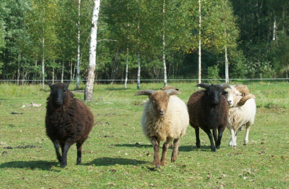 """Õpetlikuks ivaks passib siia lisada veel üks Stanisłav Jerzy Leci aforism: """"Nägin unes juhtoinaste karja. Nad läksid, ja igaühe kell helises isemoodi. Nende kannul polnud ühtegi lammast."""""""
