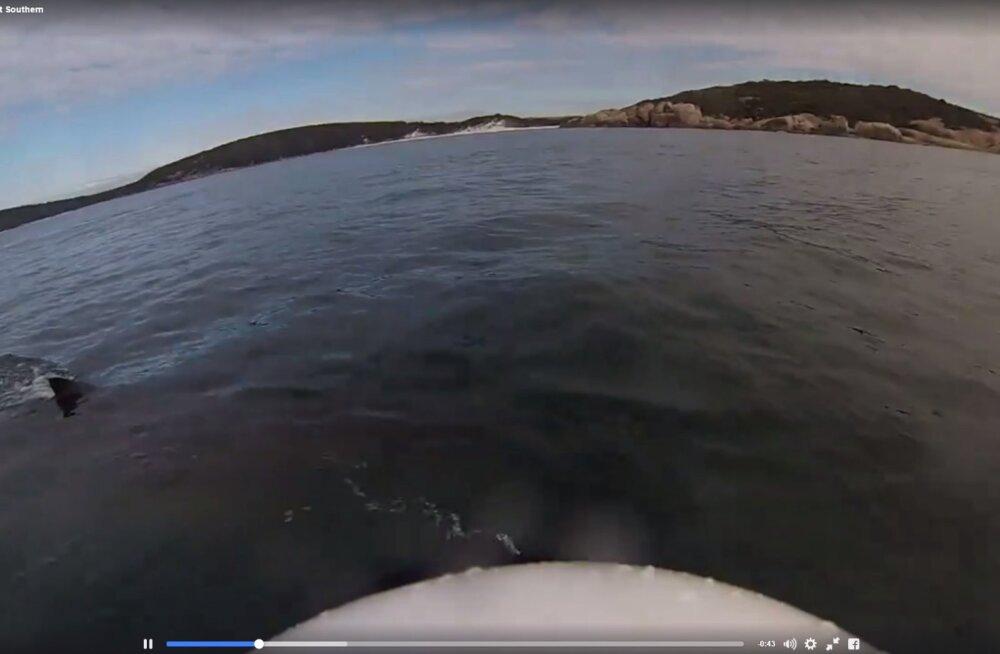 VIDEO: Süstaga merele läinud austraallane pääses napilt hai ohvriks langemisest