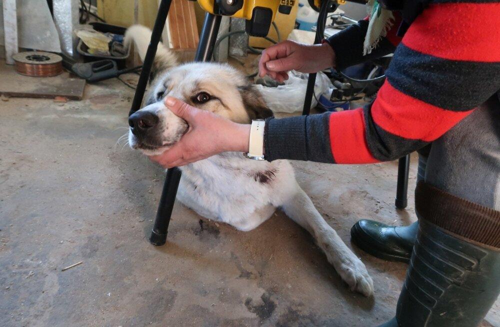 ФОТО: Откусил голову и утащил в поле. В Йыгевамаа обезумевший волк повадился нападать на деревенских собак