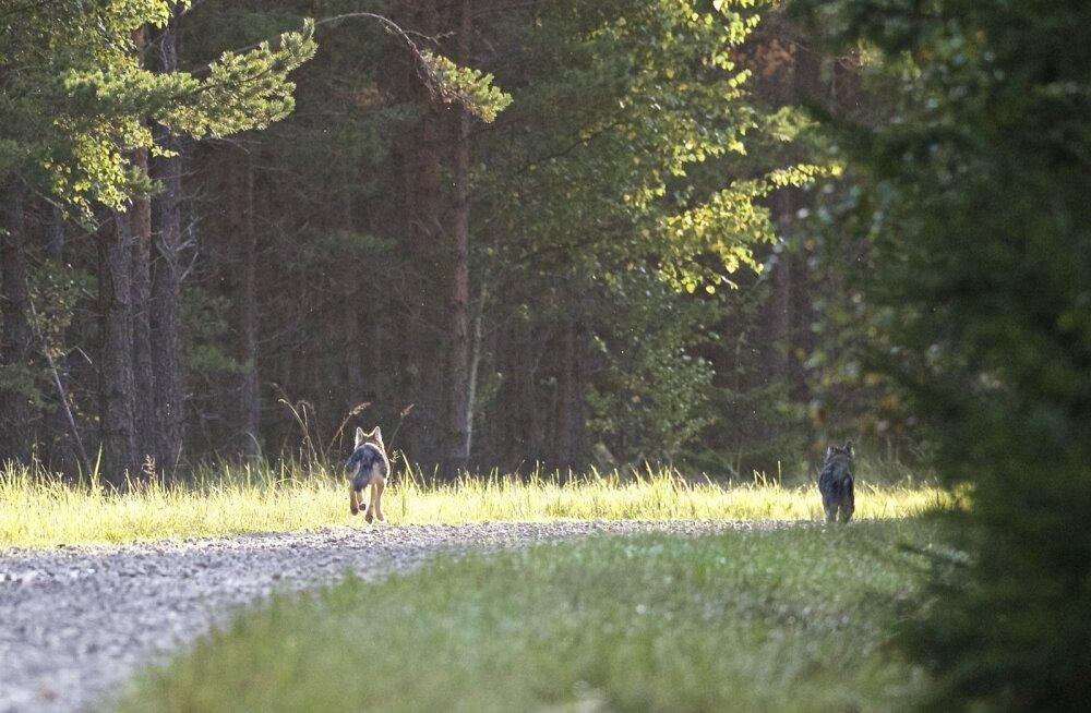 Toivo Lepik kohtas augusti lõpus Hiiumaal viit hunti. Kuni kaamera õnnestus kätte saada ja autost pilt teha, oli kolm neist jõudnud minema lipsata.