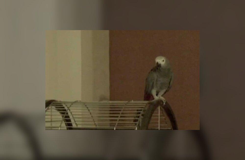 """Kuula: papagoi laulab """"Juba linnukesed"""""""