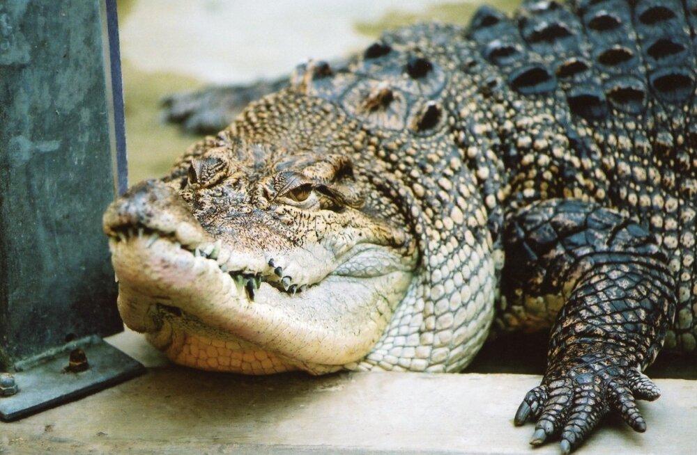 Krokodill, alligaator