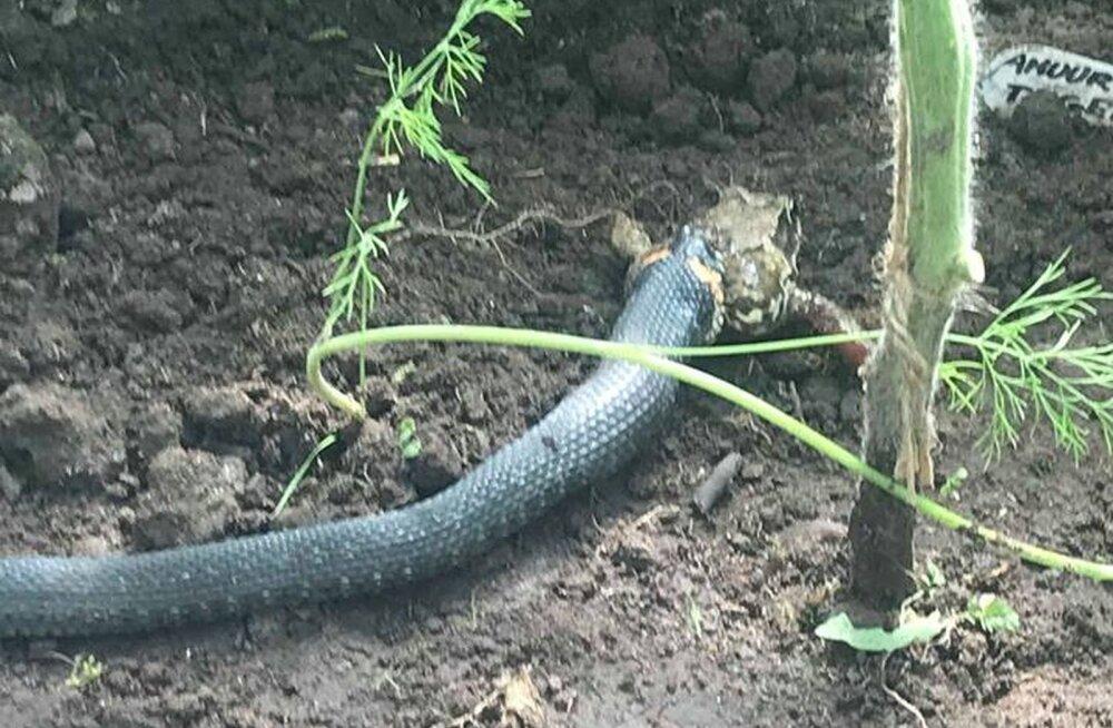 PÄEVAPILT | Aiapidaja sattus kasvuhoones peale konna kugistavale nastikule