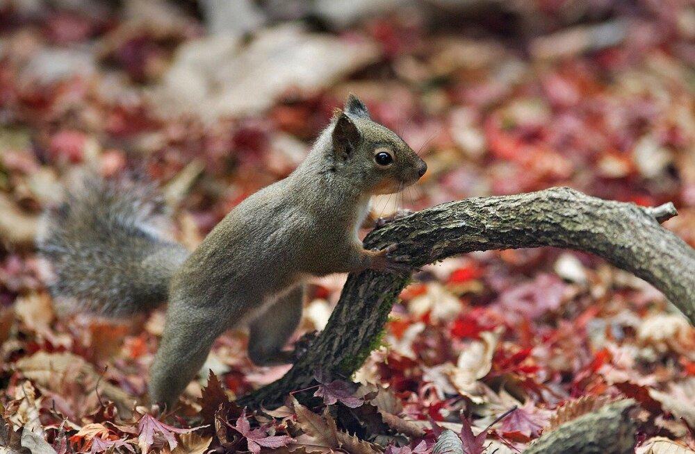 Eile Keilast leitud imearmas oravapoeg on kriitilises seisundis