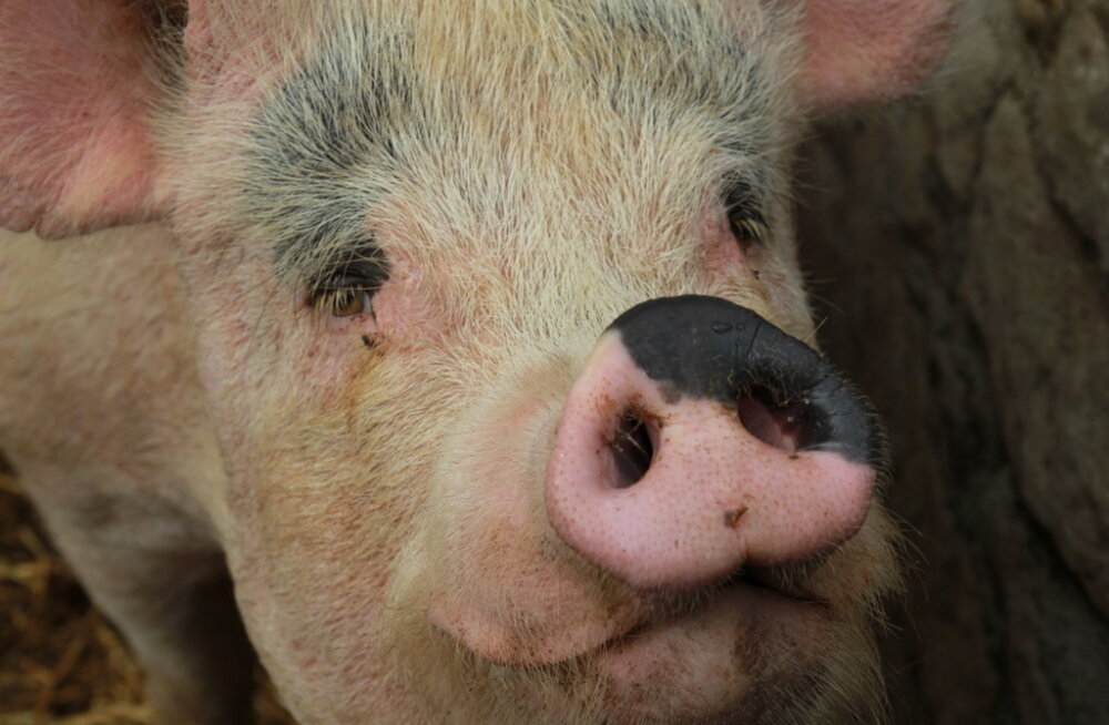 Самый главный музей 2019 года: невероятный мир 50 000 свиней