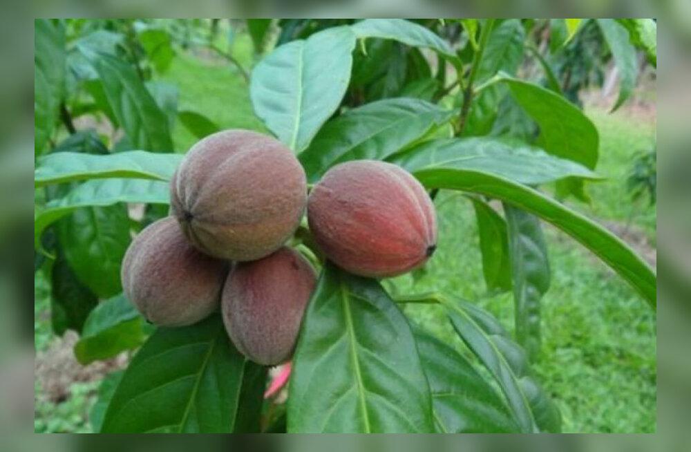 Haruldasest taimest saadav vähiravim hämmastab teadlasi kiire mõjuga