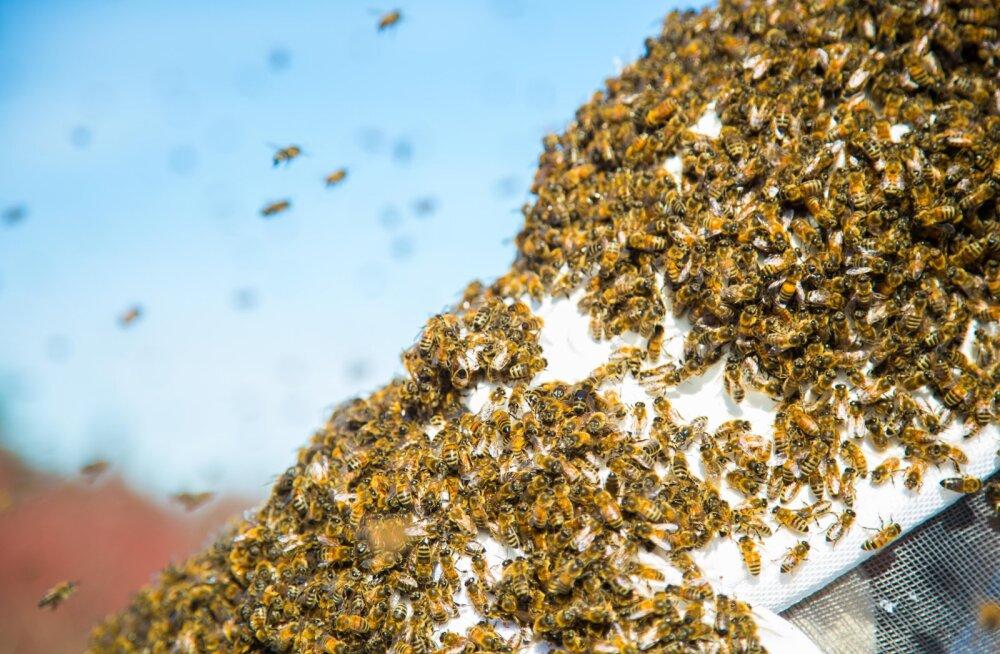Maaeluministeeriumi vastulause mesinike liidule: kümnete miljonite mesilaste hukkumine taimekaitsevahendite tõttu on meelevaldne arvamus
