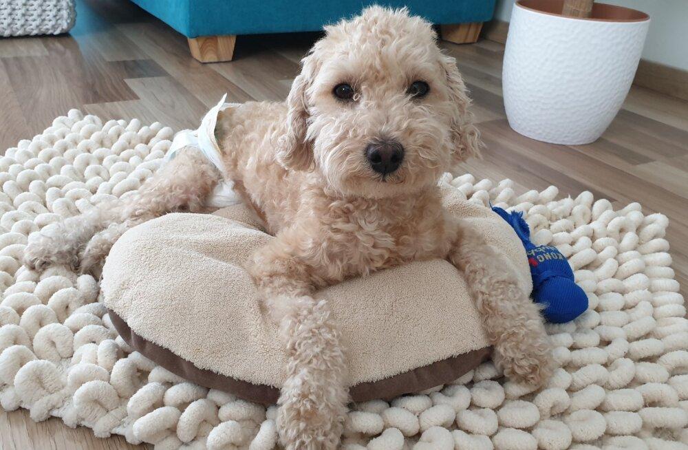 Koeraomaniku jahmatav lugu: ootamatu õnnetuse tagajärjel kahanes Villi lootus taas kõndima hakata iga tunniga