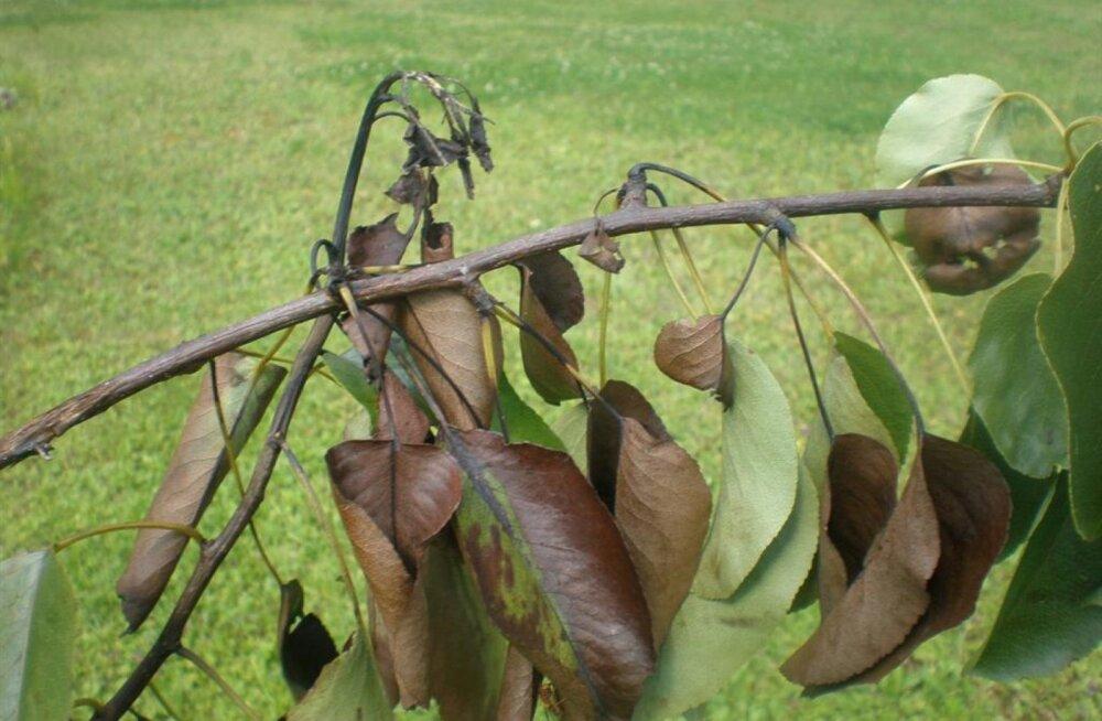 Eesti puukoolis kasvanud õunapuul tuvastati ohtlik taimekahjustaja viljapuu-bakterpõletik