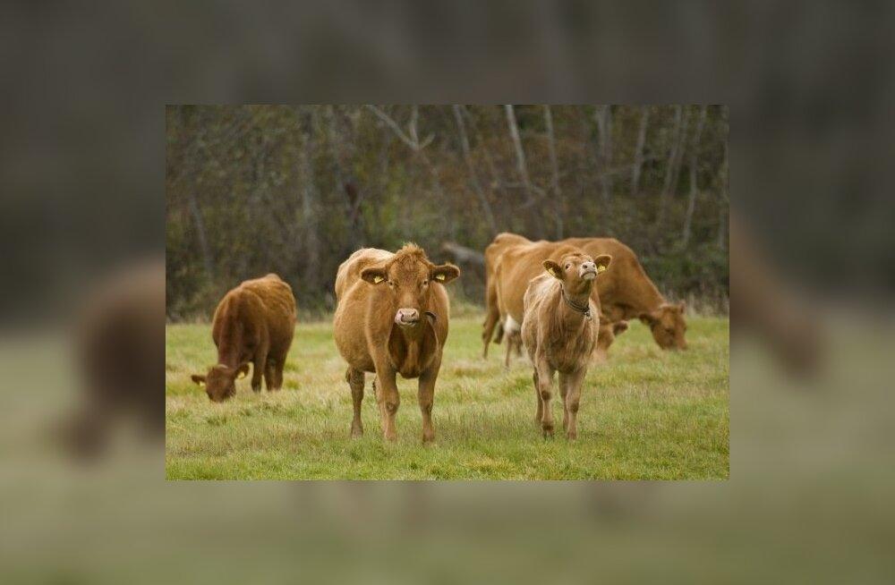 Piimatoodang kahaneb tänu keskkonnapiirangutele. Kas karjamaal söövad lehmad on varsti haruldane vaatepilt?