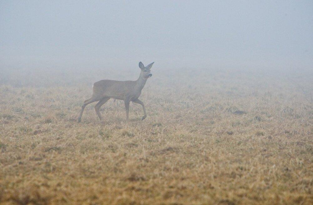 Kiisa kandis võivad tegutseda salakütid, ringi liigub kuulihaavadega metskits