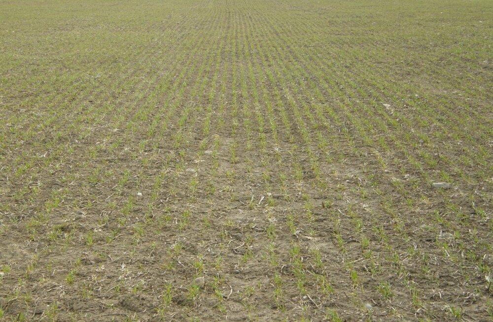 Tänavune kevade pole põllumehele sugugi nii rõõmustav, nagu ta hakatuseks näis. Liiga vara tuli soe. Rukkiorased hakkasid nagu maa sisse tagasi kasvama.