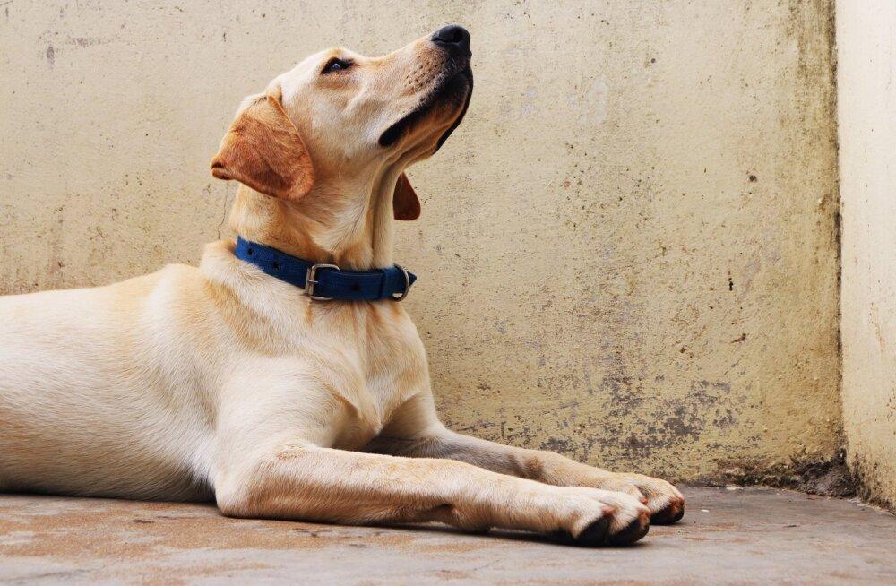 Lihtne õpetus: need on 5 kõige olulisemat käsklust, mida oma koerale õpetada