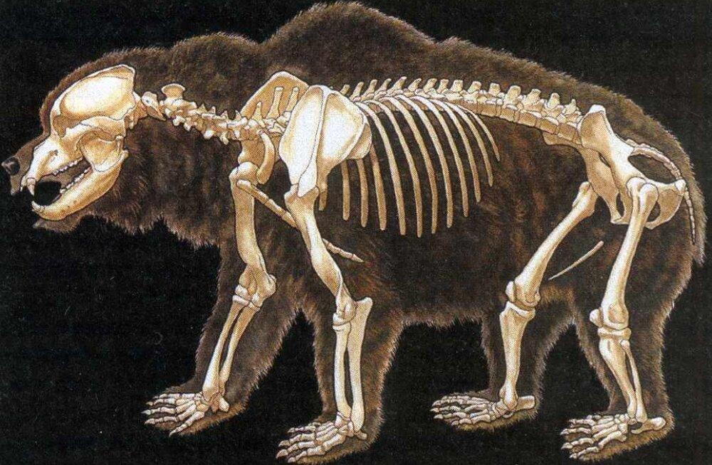 Koopast leitud karuluu kirjutab ümber Iirimaa inimasustuse ajaloo